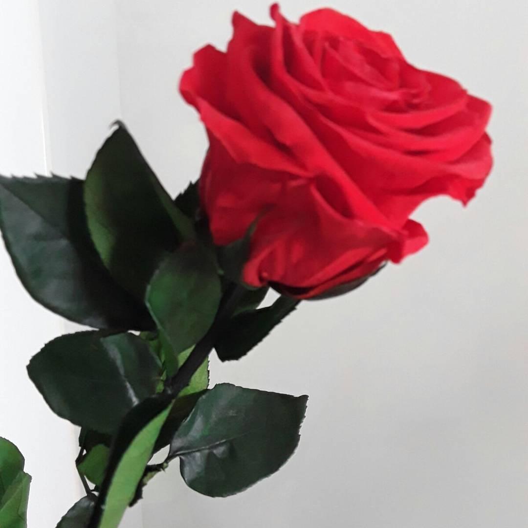 Rosa preservada mediante proceso de liofilizacion
