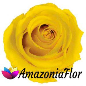 Rosas eternas amarillas