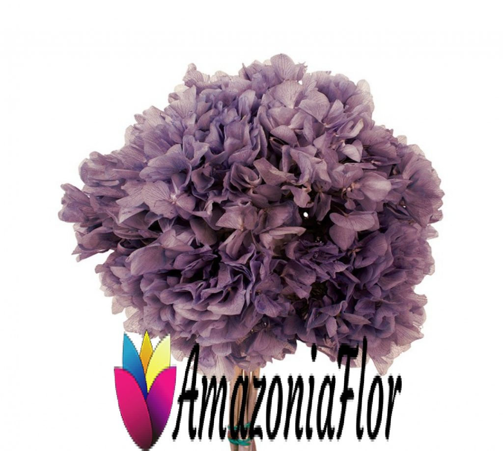 hortensia preservada