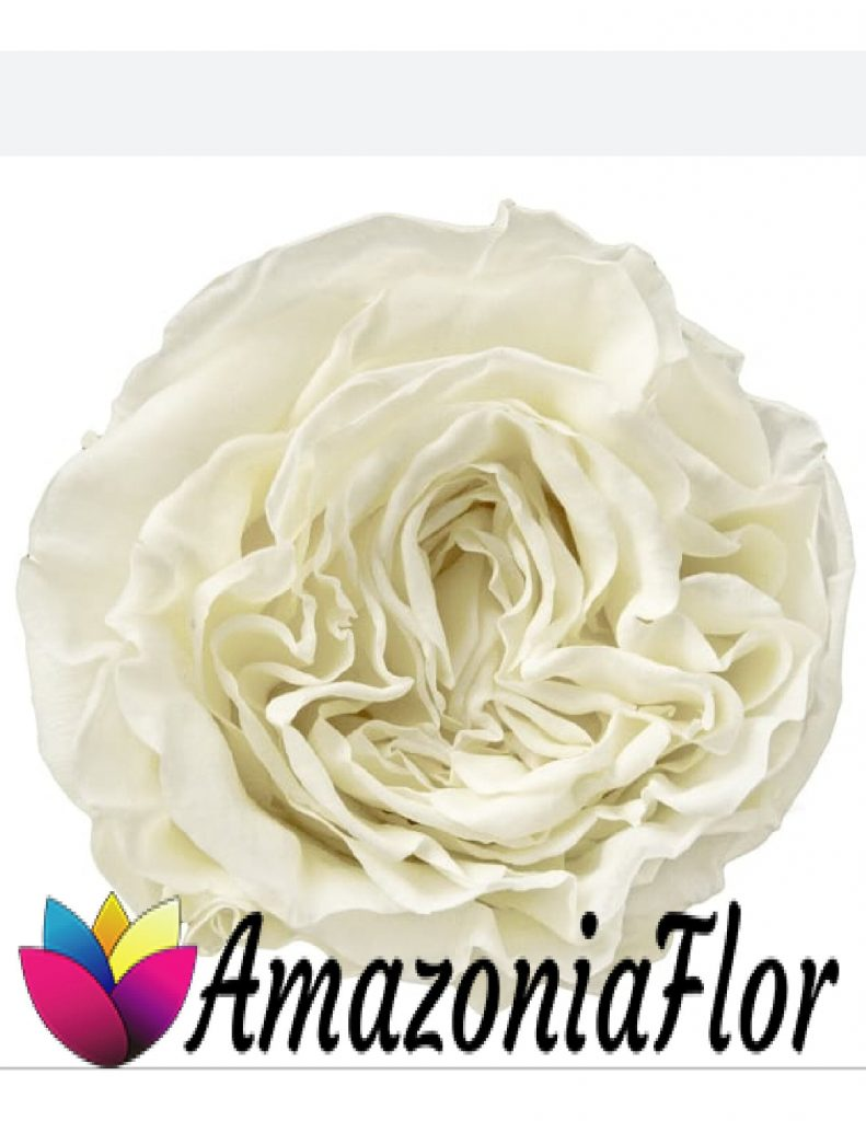 Rosa Austin blanca preservada