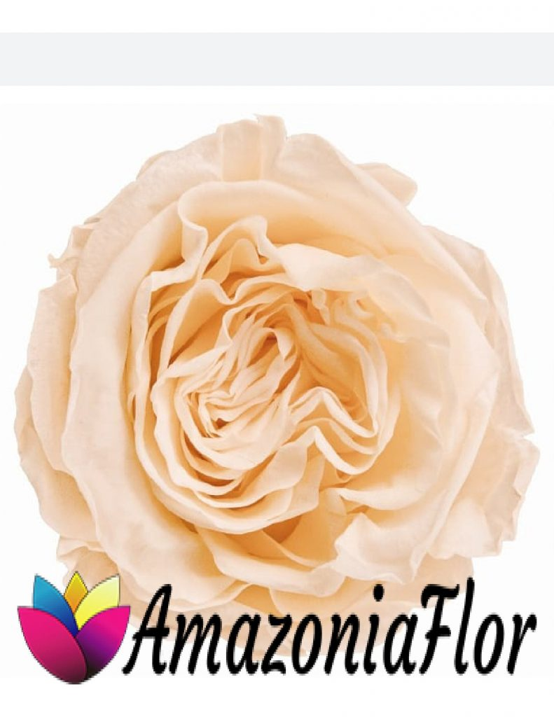 rosa Austin melocotón preservada