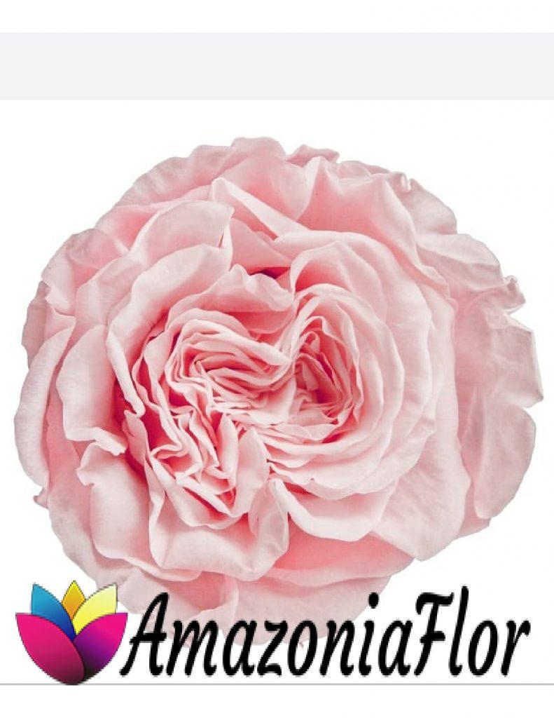 rosas eternas austin